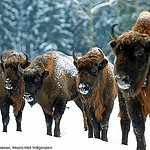 """European buffalos in Germany"""