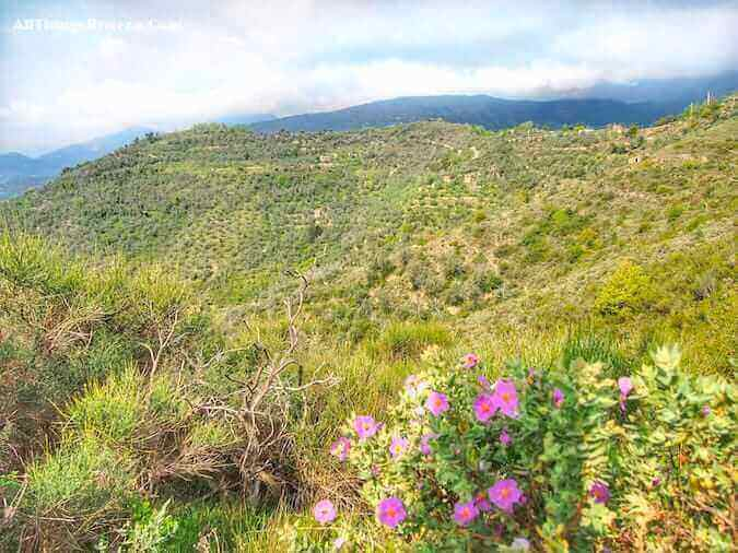 """blooms along a a lovely spring hike on the hills of Apricale"""