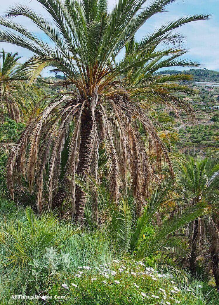 """Palm Trees of Bordighera"""