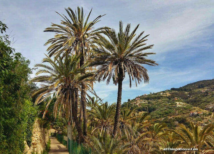 """Palm Trees of Bordighera in Baedo Palm Grove"""