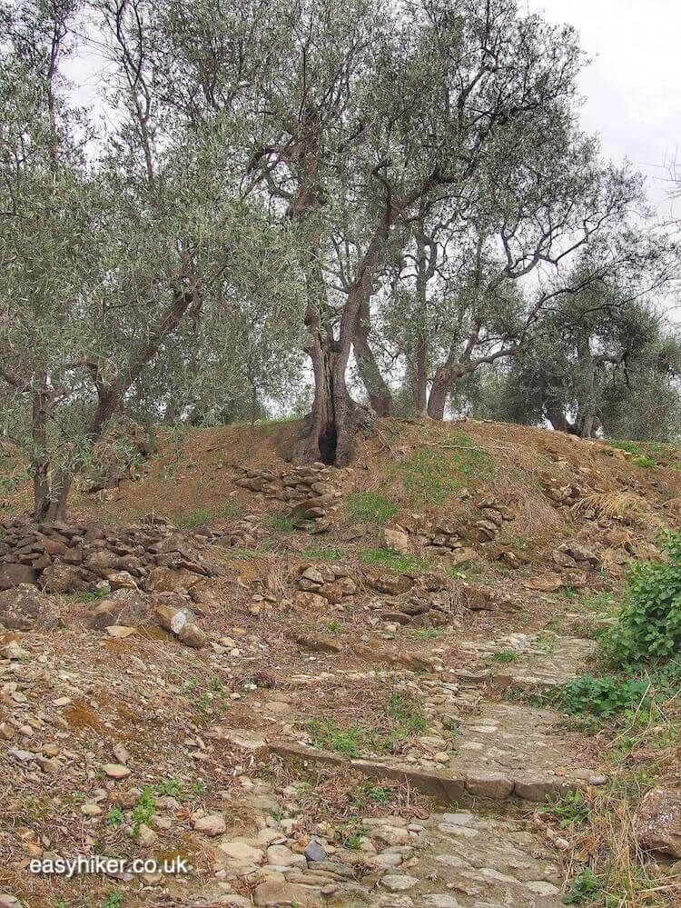 """olive grove - - Discover More of Diano"""