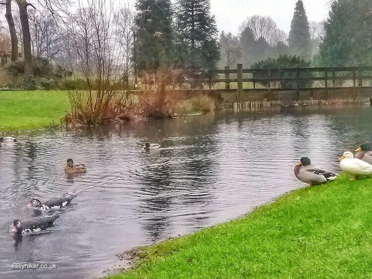 """Ducks inside Volkspark Enschede - brighten up Dutch Midwinter Blues"""